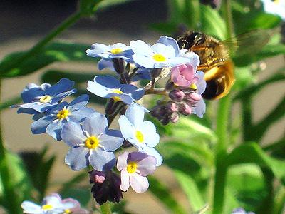 closeup einer Biene auf meinem Balkon am 15.4.09